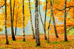 Birken im Fallpark Stockfoto