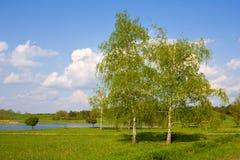 Birken im Park Lizenzfreie Stockfotografie