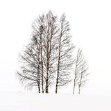 Birken im Schnee Stockfotos