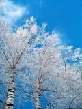 Birken im Winter lizenzfreie stockfotos