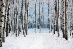 Birken im Winterholz Stockbild