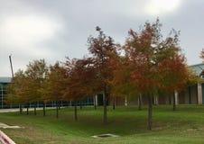 Birken mit orange Blättern Stockfotos