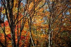 Birken mit orange Blättern stockbild