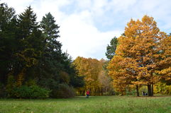 Birken mit orange Blättern Lizenzfreie Stockfotos
