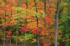 Birken mit orange Blättern Stockfotografie
