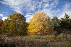 Birken mit orange Blättern Lizenzfreie Stockbilder