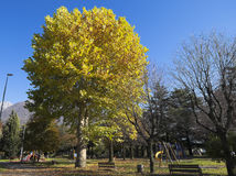 Birken mit orange Blättern Lizenzfreies Stockbild