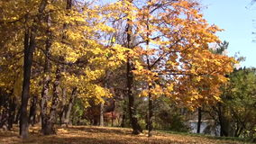 Birken mit orange Blättern stock video