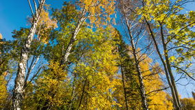 Birken mit orange Blättern stock footage