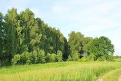 Birken und ein Feld Lizenzfreies Stockbild