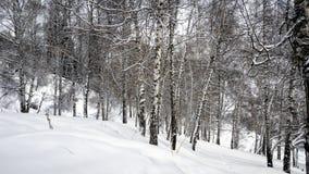 Birken und Schnee Stockfoto