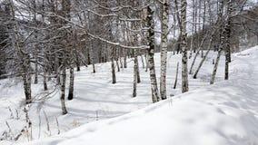Birken und Schnee Lizenzfreies Stockfoto