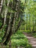 Birken und Tannenbäume, die entlang einem Waldweg wachsen Lizenzfreies Stockbild