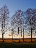 Birken während des Sonnenuntergangs Lizenzfreie Stockfotografie