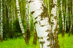 Birken-Wald Stockfotografie