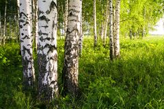 Birken-Waldung Stockfoto