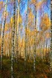 Birkenbäume Lizenzfreie Stockfotos