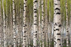 Birkenbäume lizenzfreies stockbild
