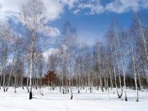 Birkenbäume Stockfoto