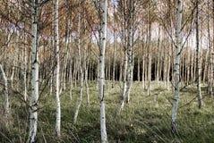 Birkenbäume Lizenzfreie Stockbilder