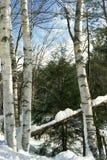 Birkenbäume stockfotos