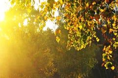 Birkenbäume in einem Sommerwald lizenzfreie stockfotografie