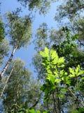 Birkenbäume, grüne Eiche treibt, blauer Himmel, Wald Blätter Stockfoto