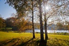 Birkenbäume mit Hintergrundbeleuchtung Lizenzfreies Stockfoto