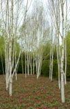 Birkenbäume u. -tulpen Lizenzfreie Stockfotografie
