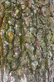 Birkenbarke Stockbilder