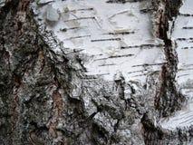 Birkenbarke Stockbild