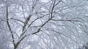 Birkenbaum im Frost Stockfoto