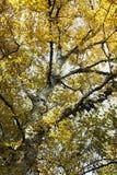 Birkenbaum im Herbst lizenzfreie stockbilder