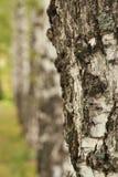 Birkenbeschaffenheitsnahaufnahme im Wald lizenzfreie stockfotos