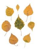 Birkenblätter lokalisiert über Weiß Stockfotos