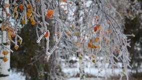 Birkenblätter werden mit Eis nach Regen im Winter bedeckt stock video