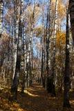 Birkengasse im Herbst Lizenzfreie Stockbilder