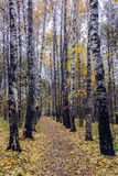 Birkengasse im Herbst Stockfotografie