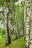 Birkengasse im Sommer Stockbilder