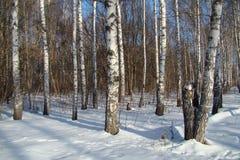 Birkenholz Stockbilder