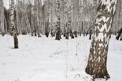 Birkenholz im Winter Russland stockbild