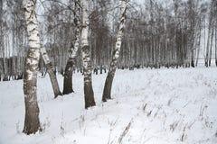 Birkenholz im Winter Russland lizenzfreies stockbild