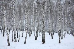 Birkenholz im Winter Russland stockbilder