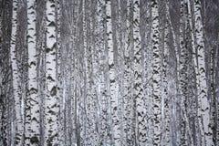 Birkenholz im Winter Russland stockfoto