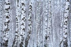 Birkenholz im Winter Russland lizenzfreie stockbilder