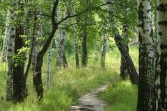 Birkenholz am Sommer Lizenzfreies Stockbild