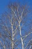 Birkenkrone auf Himmelhintergrund Stockfotos