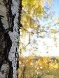 Birkenrinde auf dem Hintergrund der belichteten Krone des Herbstlaubs lizenzfreies stockbild