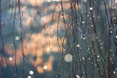 Birkenrinde mit Aufflackern des Lichtes in den Tautropfen Stockbild