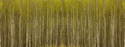 Birkenwald Stockbilder